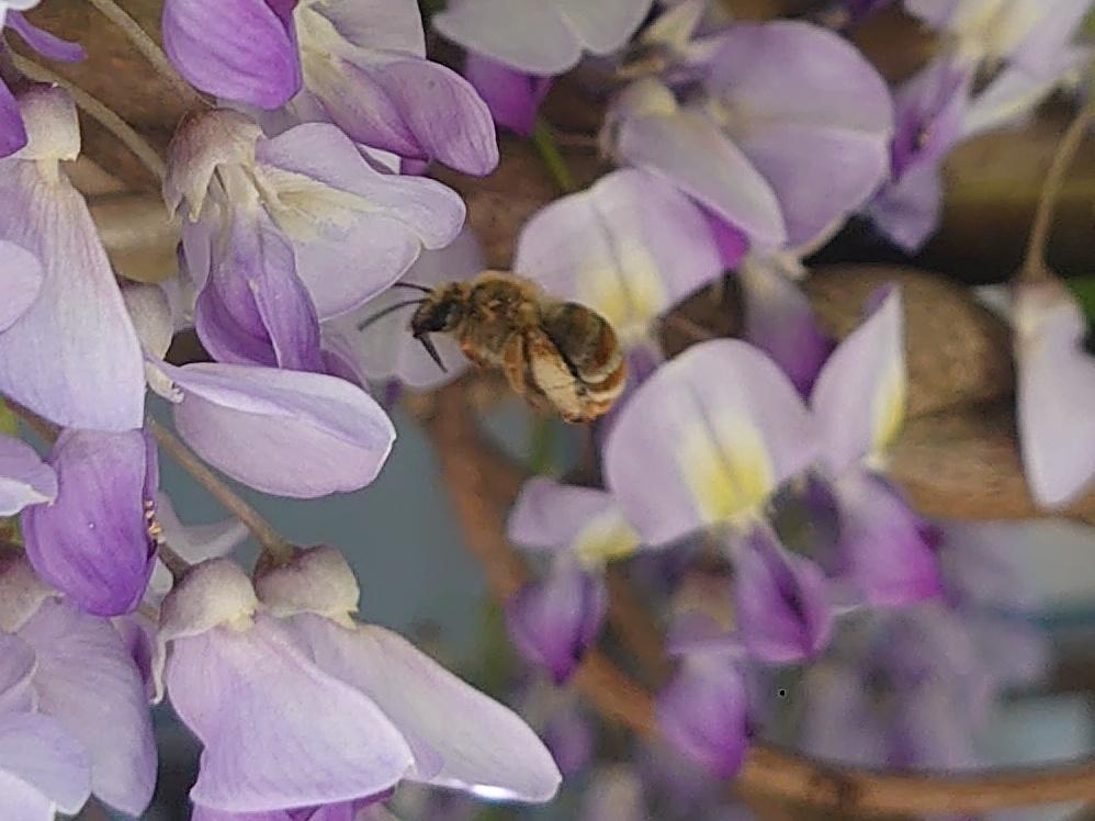 昆虫(特に蜂)に詳しい方、質問です。 このミツバチはなんという種類なのかわかる方はいらっしゃいますでしょうか。(ง ᵕωᵕ)วぶんぶん 個人的な見解ではニホンミツバチなのかセイヨウミツバチなのかよく見分けがつきにくかったので教えて頂けますと幸いです。 ちなみに最近天気がいい日の日中、4〜5匹くらいがずっっと家のベランダにいるのですが、これは家の近くに巣があるということなのでしょうか。 そ...