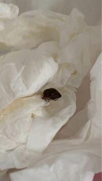 分かりにくいですが、この虫は何でしょうか?、 カメムシですか??トコジラミではないですか? サイズは正露丸の粒くらいの大きさです。  新生児のすぐ側で発見して不安で仕方ないので 早急な回答お待ちしてます(泣)