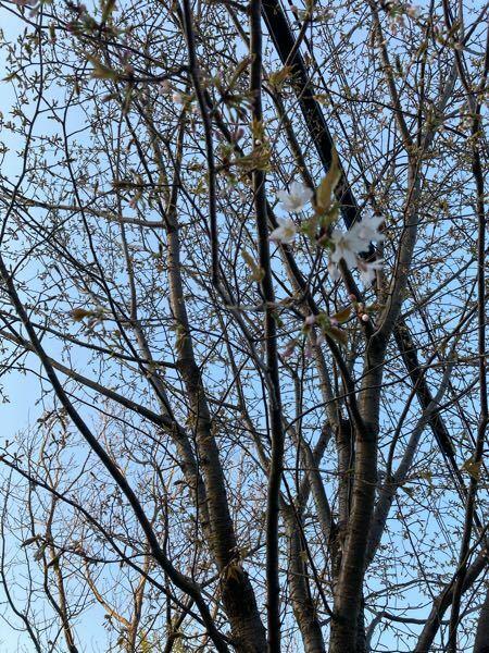 福島県南部に住んでいます。 庭の山桜だと思いますが、4月19日現在開花し始めました。自然に、生えている山桜に比べ遅い開花だと思いますが何故でしょうか。