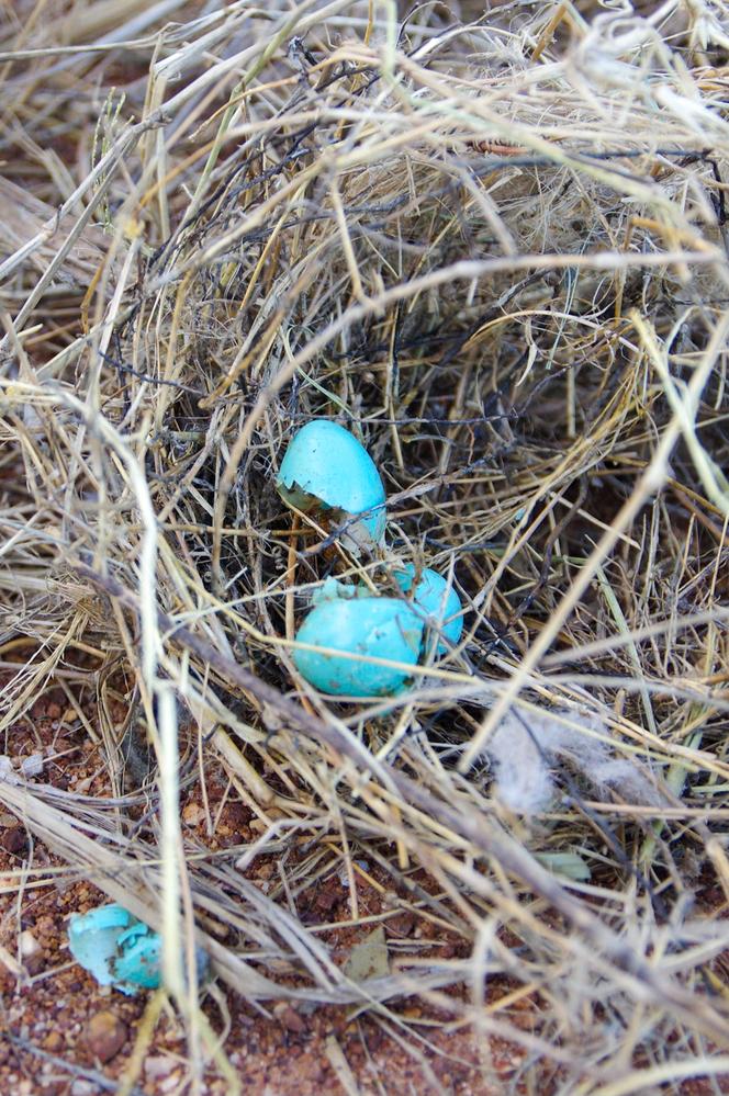 写真の鳥の卵は何の鳥の卵ですか? 鳥の巣の中は卵の殻だけだったのですが、卵はエメラルドグリーンの色をしていてウズラの卵より一回り小さい感じでした。