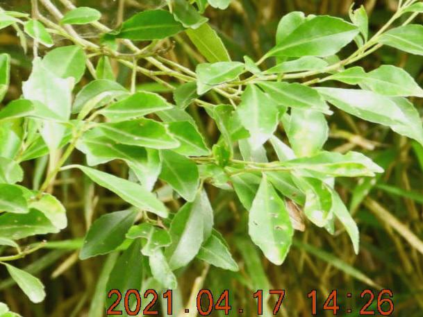 分かりづらい画像ですが、この木の名前教えて下さい。