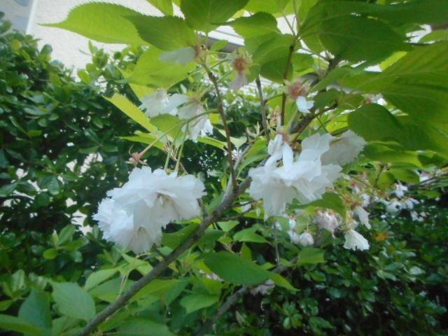 今朝、散歩中に見かけました。八重の花に見えますが、桃?杏?姫リンゴ? それとも別の花でしょうか? お分かりの方、教えて下さい。