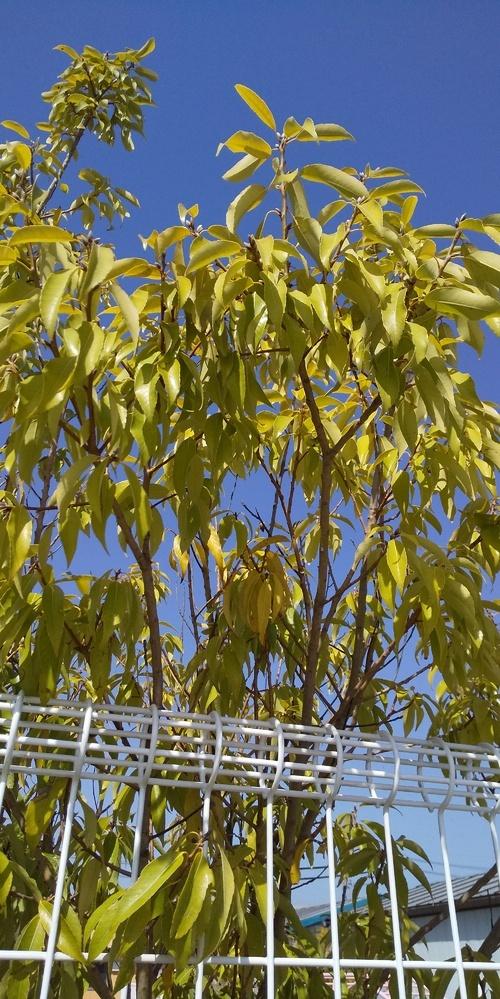 この木はなんとゆう木ですか? 自宅などに向いてる木でしょうか?