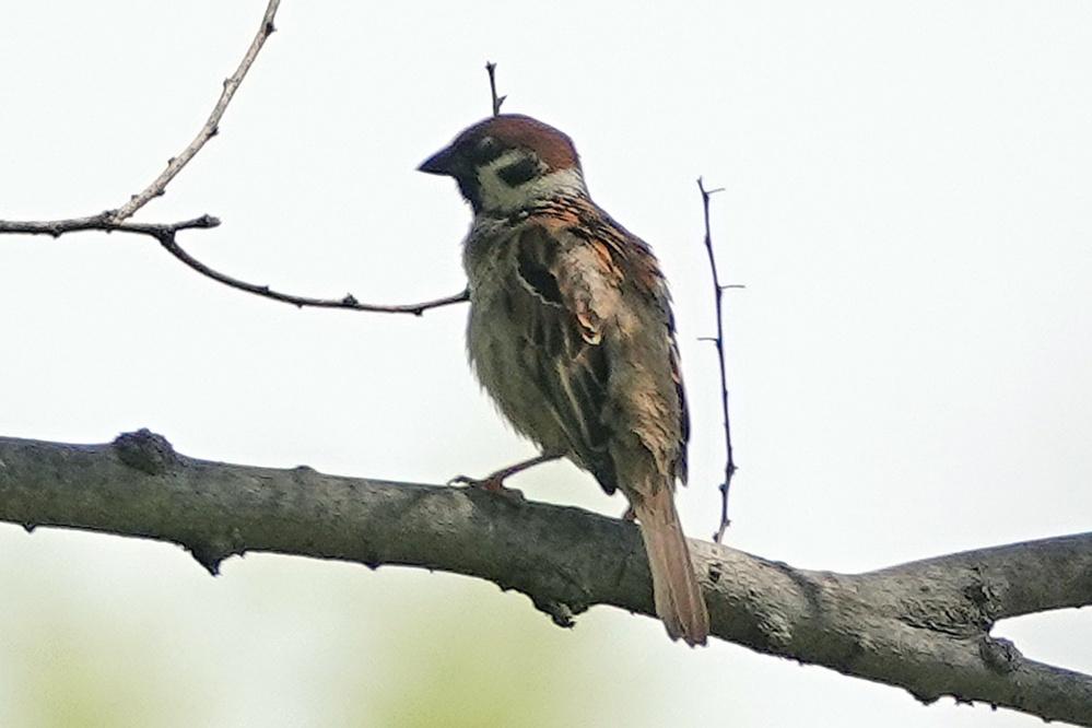 画像が鮮明でないので分かりづらいかもしれませんが、この野鳥の名前をご存知の方教えて下さい。