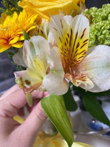 このお花はなんと言うお花でしょうか。 ご存知の方ご教授願います。 (猫を飼っているので ユリ科のお花だとまずいなと思い質問させていただいた次第です) よろしくお願い致します。