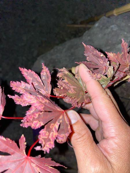 全くの初心者です。教えてください。 先週末に庭にある石に穴を開けて、ただの思い付きで紅葉を植えてみたのですが、写真の様に葉がなってしまいました。 原因と対処方法を教えて頂きたいです。 ※ちなみに、下から赤玉土、腐葉土、土で植えました。