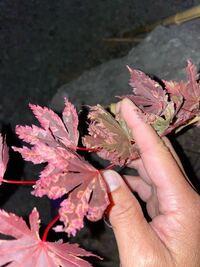 全くの初心者です。教えてください。 先週末に庭にある石に穴を開けて、ただの思い付きで紅葉を植えてみたのですが、写真の様に葉がなってしまいました。 原因と対処方法を教えて頂きたいです。  ※ちなみに、下か...
