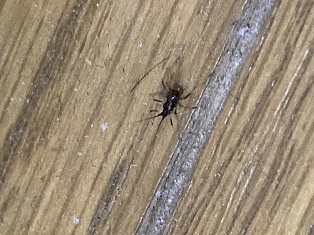 家の中で出たのですが、何の虫か分かる方いませんか? 2、3mmくらいの大きさです