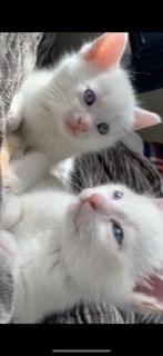 2匹の1ヶ月半頃の兄弟子猫を引き取りしたのですが 目の色はもうじき変わってくる頃でしょうか?それとも2匹ともブルーの瞳でしょうか?1匹は真っ白な子でもう1匹はレッドポイント?という柄の子です。 白猫とレッドポイントの性格も分かる方いたら是非教えていただきたいです