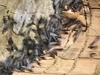 これはなんの虫でしょうか。庭の、何年も前に切った切り株にたくさんいました(涙)