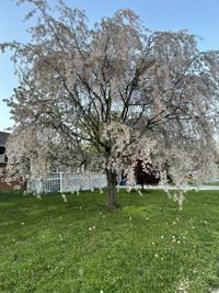 アメリカオハイオ州にある木です。 こちらは何という木でしょうか??