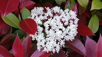 この植物の名前教えて下さい 垣根の赤い葉に白い上品な花が咲いていました