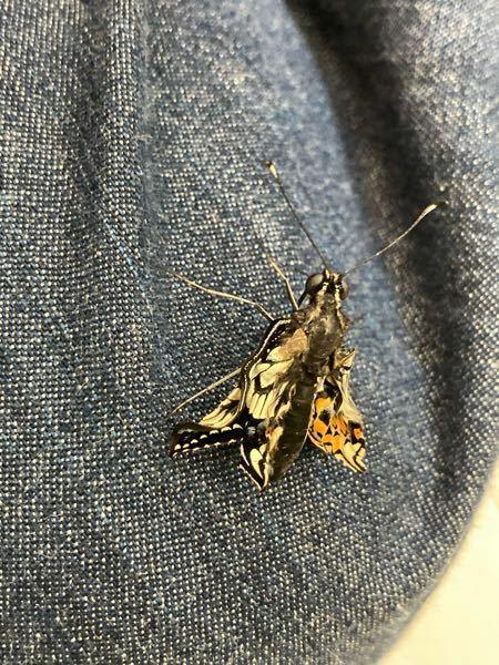 10月にナミアゲハの幼虫達が蛹になりたった一つだけ冬眠したので春になり暖かくなって綺麗なナミアゲハになるのを楽しみにしていました。 一昨日くらいからオレンジ色の蛹に黒い筋が透けて来て昨日は蛹全体が黒くなり今朝の7時ごろ蛹から出ようとしていたのでワクワクしながら見ていました。 でも様子がおかしく蛹の殻がそれ以上破れずに音を立てながら もがいていました。 慌てて割り箸を差し出し 割れかかってい...