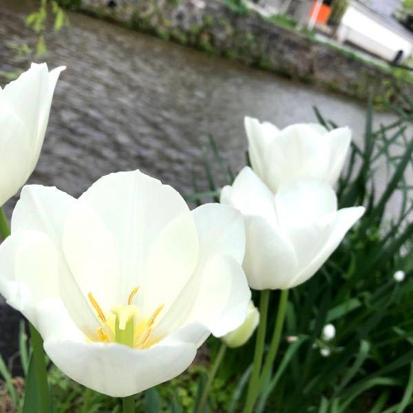 この花の名前を教えてください ちなみに京都の川で撮影しました。