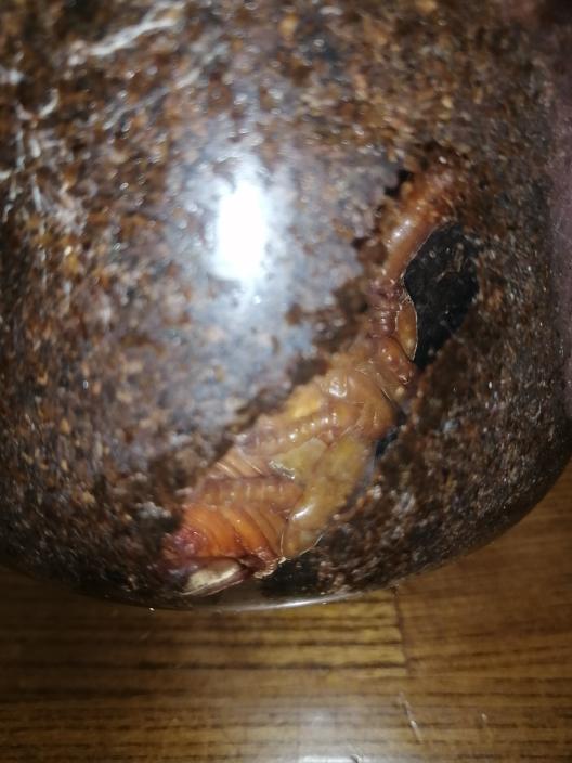 国産カブトの蛹ですがこれは蛹化不全ですか?