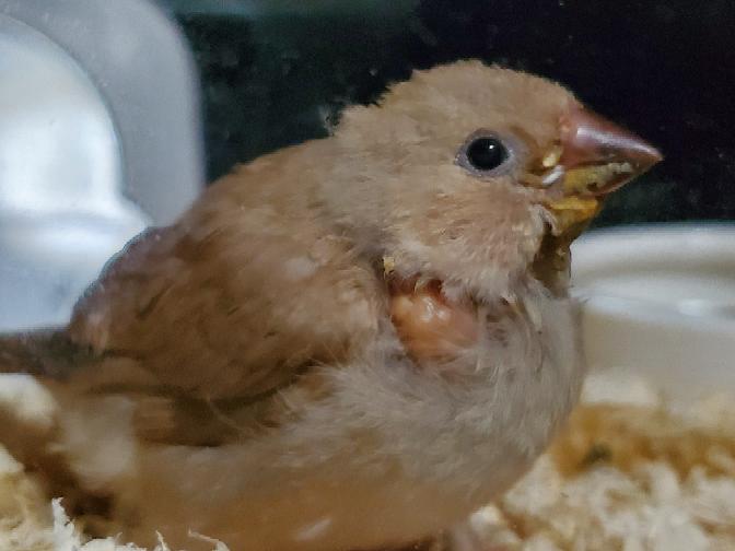錦華鳥についての質問です。 先日錦華鳥の雛(フォーン)生後1ヶ月と少しの子をお迎えしたのですが、錦華鳥特有の涙マークが全く見当たりません。 他のフォーン雛の画像を調べてみたら涙マークが出ていたの...