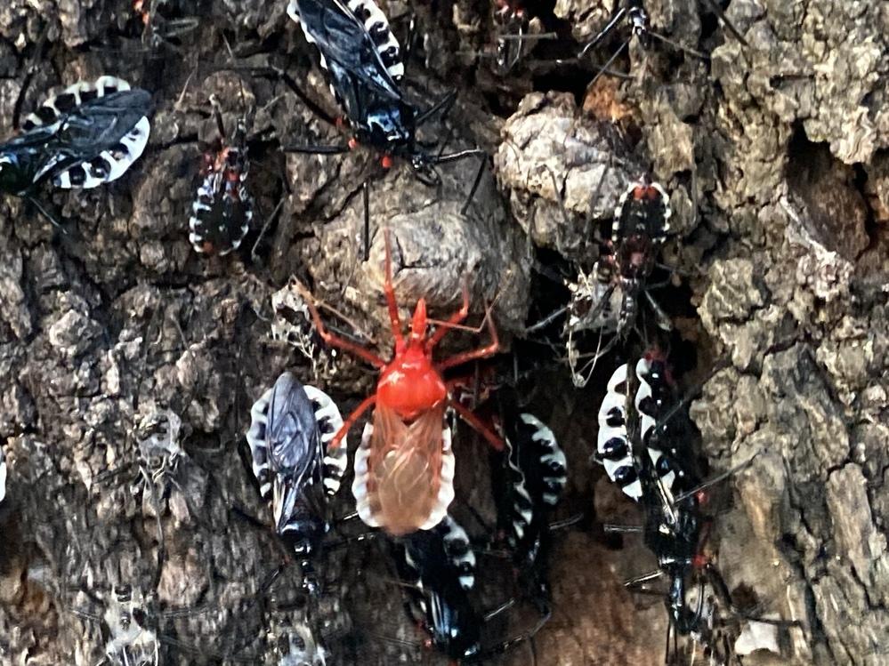これは何虫ですか? 赤いのはシャア専用ですか?