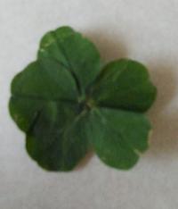 しろつめぐさのところで、四つ葉のクローバーを探していたら、5枚のがあったのですが、葉っぱに白い線がありません。 前に見た五つ葉のクローバーは四つ葉上に一枚重なっていて、こんなに形ではなかったのですが、しろつめぐさのこれは五つ葉ですか?
