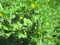 画像が鮮明でなく申し訳ございませんが、里に咲いていた菜の花にの花です。セイヨウアブラナでしょうか、