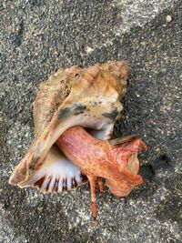 珍しい貝が取れたんですがこの貝が何者か教えてください。そして食べれますか?