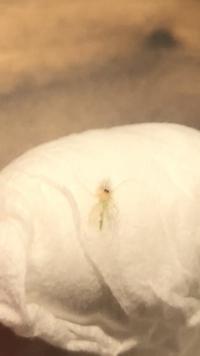 家の中に1ミリから2ミリくらいの虫が10匹ぐらい飛んでいます。特に電球付近です。パッと見た目は白っぽく、お腹? 胴が薄い緑っぽい色なのですが、なんていう虫なんでしょうか?