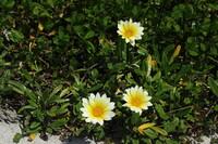 この花の名前を教えて下さい。 海岸の砂地に咲いていました。 ガザニアでしょうか?