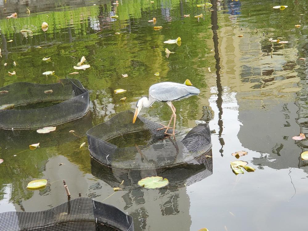 この鳥は何という鳥でしょうか? 上野公園の不忍池にいました。