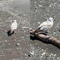 千葉の海にいたのですがこの鳥はなんでしょうか? うみねこですか? 歩き方が可愛いです(^_^)