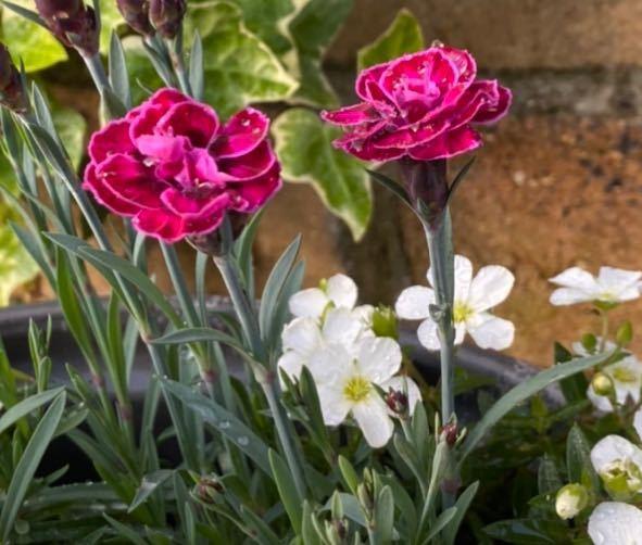 このピンクのような紫の花の名前を教えてください バラの小さい版みたいな?