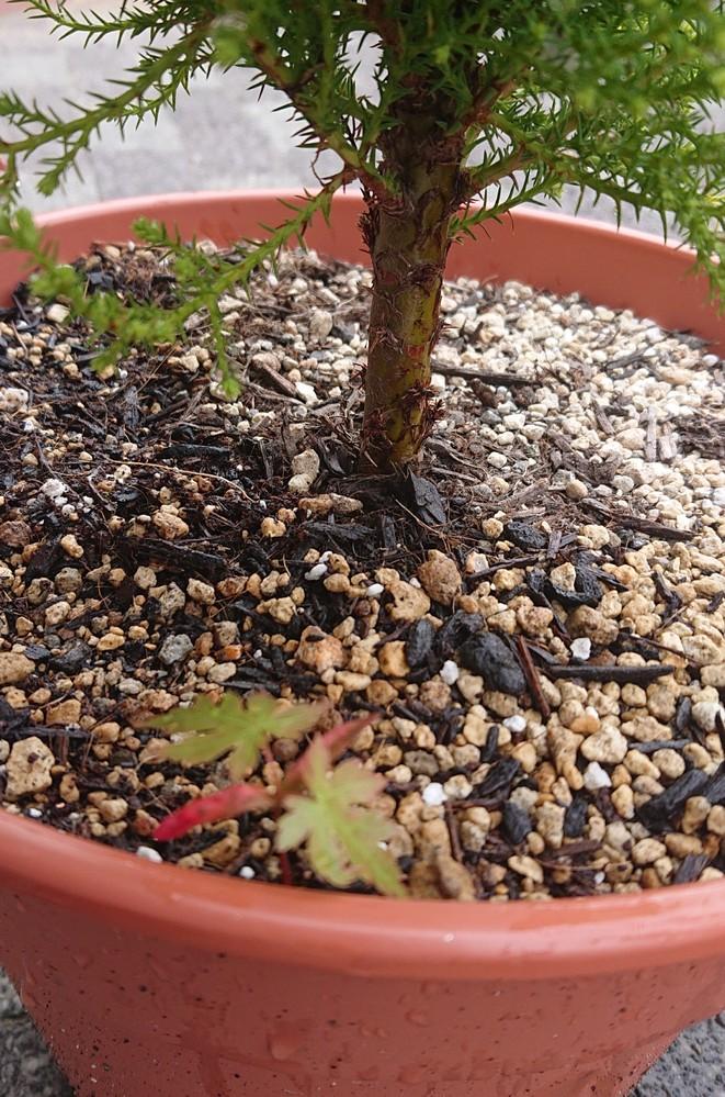 紅葉にお詳しい方に教えて頂きたいのですが 引っ越してきた時には植えてあった紅葉の木が2本あるのですが、その近くに植木鉢を置いてて、その中に紅葉?みたいな葉がその中で根付いているのですか これは紅葉なのでしょうか? 知識がなくお恥ずかしいのですが、お分かりになる方回答宜しくお願い致します。
