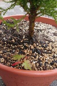 紅葉にお詳しい方に教えて頂きたいのですが 引っ越してきた時には植えてあった紅葉の木が2本あるのですが、その近くに植木鉢を置いてて、その中に紅葉?みたいな葉がその中で根付いているのですか これは紅葉な...