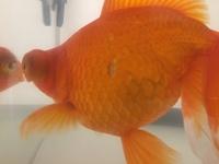 金魚の鱗が剥がれてしまいました。 生体は20cm、60cm水槽で飼育しています。水温は23〜24度、餌は2日に1回程行っています。(いつも消化不良気味です…) 今朝見たところ左面の真ん中の鱗が1枚剥がれてしまっていま...