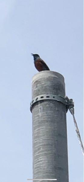 画質が粗くて申し訳ございませんm(_ _)m 毎年この時期から夏くらいにキレイな高めの鳴き声のこちらの鳥さんの名前を教えてください!