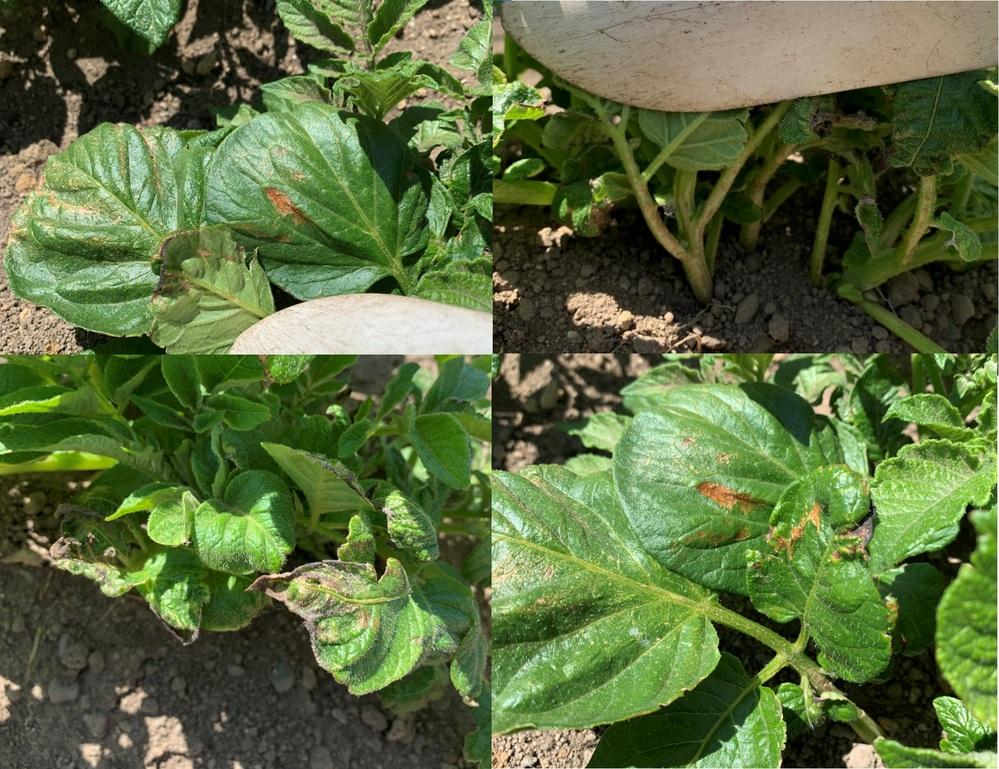 ジャガイモの葉と茎が変色してしまいました。 ジャガイモを初めて今年3月2日植え付けました(PH6.5)が、最近になって葉が変色しているのに気がついて、、、良く見ると茎の部分も白くなっているような感じです。 葉の裏も変色しているので、なにか病気なのか気になります。 種芋はコメリで購入。植え付け前に、種芋が大きいのは半分に切断して4日室内陰干し後、植え付けました。植え付けは株間30㎝で切断部は乾いていたけで草木灰を付け株間に肥料一つまみしました。1週間ほど前に芽かきをしてその時に追肥で株間に肥料を一つまみで土寄せをしました。 植え付け後の水やりしていませんが、4月前半の気候は寒い日(霜注意報)もありました。 今後、どのように対策したらいいのか、教えて頂ければと思います。 宜しくお願い致します。