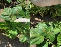 ジャガイモの葉と茎が変色してしまいました。 ジャガイモを初めて今年3月2日植え付けました(PH6.5)が、最近になって葉が変色しているのに気がついて、、、良く見ると茎の部分も白くなっているような感じです。 葉の裏も変色しているので、なにか病気なのか気になります。 種芋はコメリで購入。植え付け前に、種芋が大きいのは半分に切断して4日室内陰干し後、植え付けました。植え付けは株間30㎝で切断部は乾...