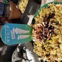 食虫植物についての質問です。 サラセニア(ペノーサ)がこの時期になっても芽をだしません。もうだめなのでしょうか?写真のような状態になっているのですが、これはまだ休眠しているのでしょうか? あと、枯れたとしたら原因はなんでしょうか? ちなみに、茨城県です。