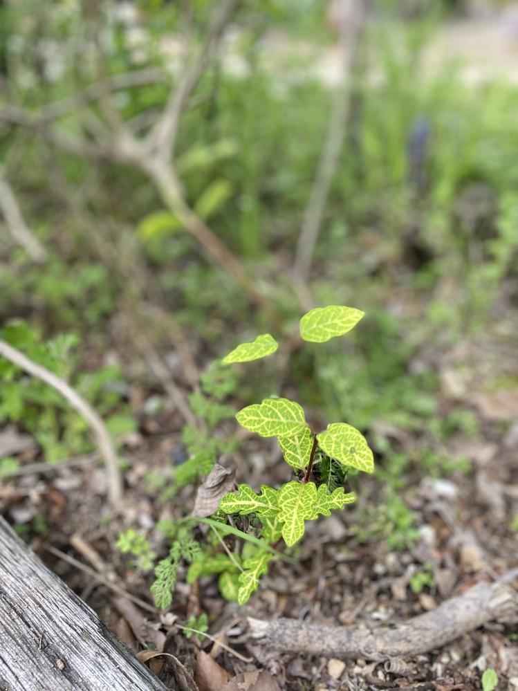 この植物の名前を教えて下さい。 宜しくお願い致します。 長くのびています。