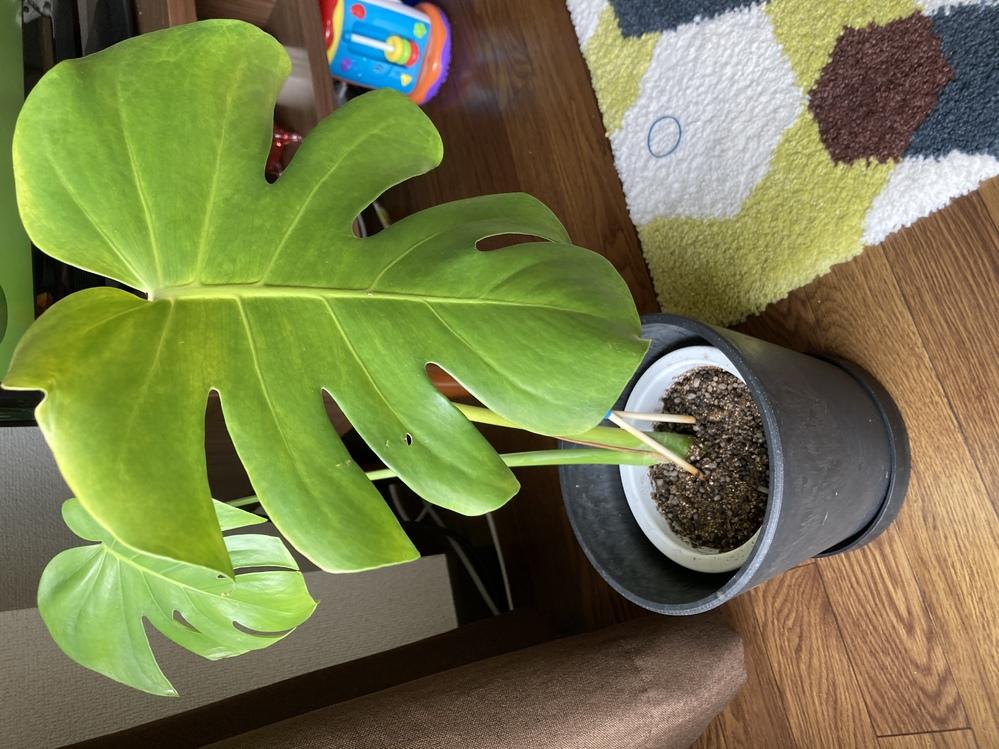 モンステラの管理について教えて下さい。 モンステラを水耕栽培から土植えにしたのですが、葉が黄色になってきているようです。 水耕栽培で容器いっぱいに根が出たので、4/21にアイリスオーヤマの観葉植物用の土に植え替えて腰水管理をしています。(ネットで調べて、水耕栽培から土植えは根っこが水用の根のため腰水管理をして、水がなくなれば普通の管理で良いと書いてあったので) 植え替えて2日しかたっていませんが、写真のようにやや黄色になってきているようです。 原因としては、植え替えて少し日当たりのいい窓際に移動したからでしょうか? 水耕栽培の時も土植えしてからも東側の窓際ではありますが、植え替え後のほうが日が差し込みます。 レースカーテン無しの窓際で、午前中に日が差し込む感じです。光は曇りガラス越しになります。