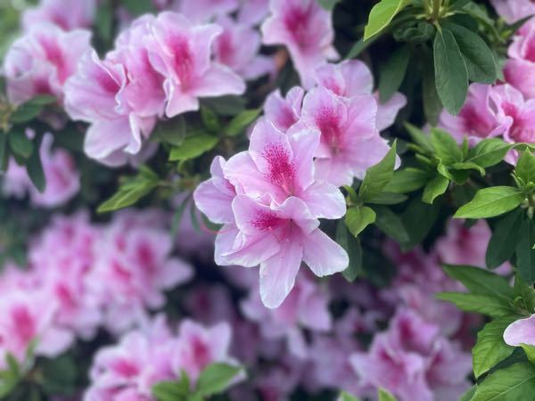 このお花の名前わかりませ?