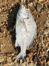 浜辺で見つけたのですが、この魚は一体何なのでしょうか?魚について疎いもので…ぜひ教えてください