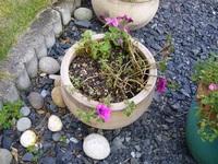 サフィニアの育て方 去年プランターに植わってたサフィニアを買いました。 寒くなるまで良く咲いてくれました。 庭に置いておいた所、今年になって緑の部分をこちらの鉢に植え替えました。 今はスカスカの状態ですが、どうすれば密に出来ますか?