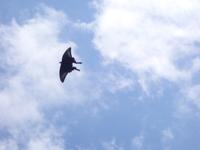 画像の蝶の種類はわかりますでしょうか。黒いアゲハ蝶です。ほぼシルエットしかわかりませんが・・・。