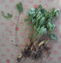 これは、ムラサキケマンの幼苗でしょうか? 株の様な根が付いています。