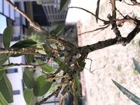 観葉植物として室内で育てているフランスゴムの木(フィカス? )に虫の卵みたいな黒い粒がたくさん付いてしまったのですが、これが何か分かる方いらっしゃいましたら教えてくださいm(_ _)m また、対処法等も知りたいです。 よろしくお願いしますm(_ _)m