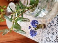 この花の名前を教えてください。 青い花がとなりの瓶にさしてある枝に咲いていました。枝はバラのように刺があります。 挿し芽をしたいと思っています。