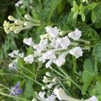 こちらの画像のお花は、何という名前でしょうか? 毎年、4月中旬〜5月上旬ごろ道端に咲いている、白い小さな花です。丈は7〜8cm程度です。