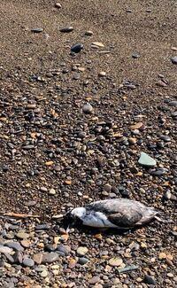 海辺で鳥の死骸を発見しました。 これはカラスですか?鳩でしょうか?