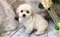 白いもふもふのトイプードルの女の子の名前で迷ってます。 ぷるん ぷるる うるる ふうわ ぽよん ぷにょ マッコリ  先住犬はタルトとクルミです。 どれが良いですか? 何か他にありますか?