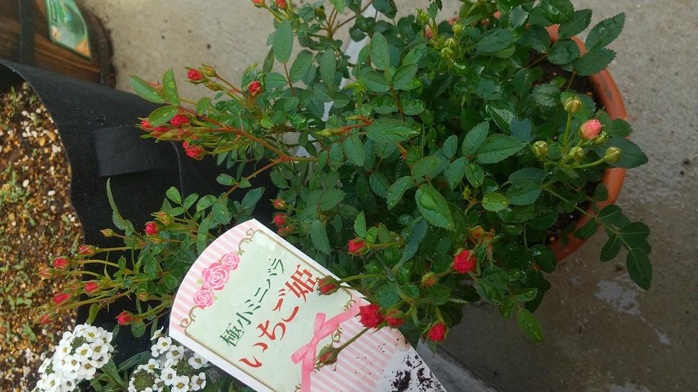 ミニバラの植え替えについて 3月末に初めてバラを購入しました。 種類は、極小ミニバラ「いちご姫」です。 買ってすぐにポットから一回り大きい素焼き鉢に植え替えました。 最近、ものすごく茂ってきたの...