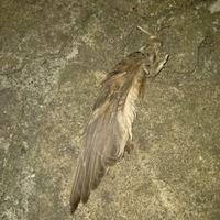 これなんの鳥か分かりますか? 玄関に落ちていたのですが、気味が悪いというか痛々しくて、片方の羽丸ごと取れていて、骨?のようなものも見えています。